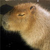 Sleeping Capybara, just like me.